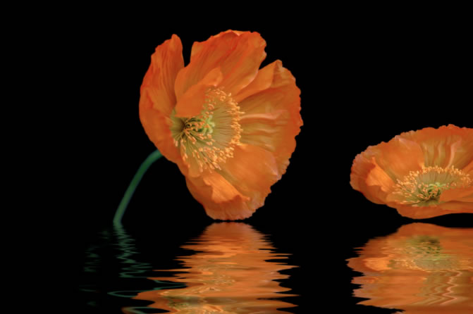orange poppy on water